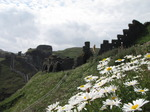 SX07178 Daisies (Bellis perennis) and castle walls on Tintagel Island.jpg
